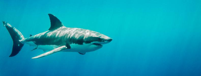 tubarões-no-mergulho